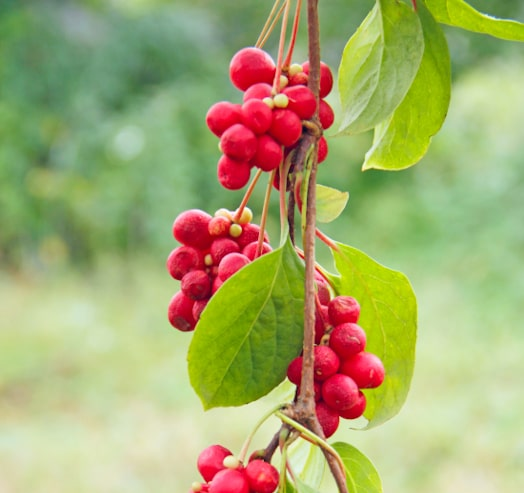 Schisandra: wild red berries